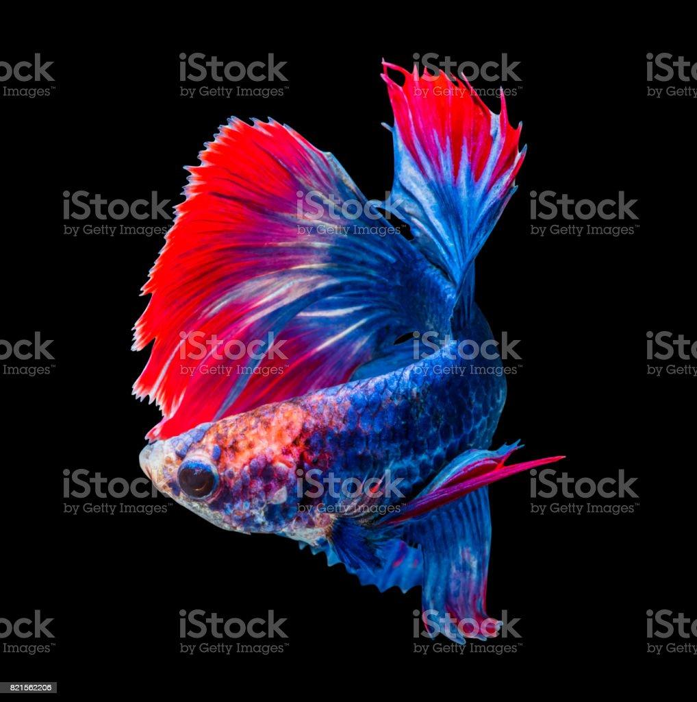Betta splendens, siamese fighting fish isolated on black background, 'Half moon' stock photo