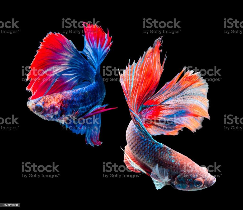 Betta splendens, siamese fighting fish isolated on black background stock photo
