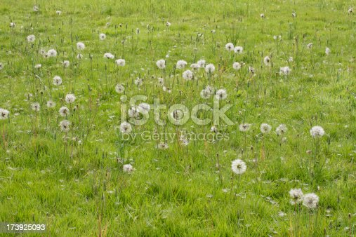 istock Soft seeds of Jack-go-to-bed-at-noon Tragopogon pratensis 173925093