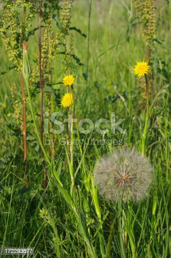 istock Yellow Jack-go-to-bed-at-noon Tragopogon pratensis 172293877