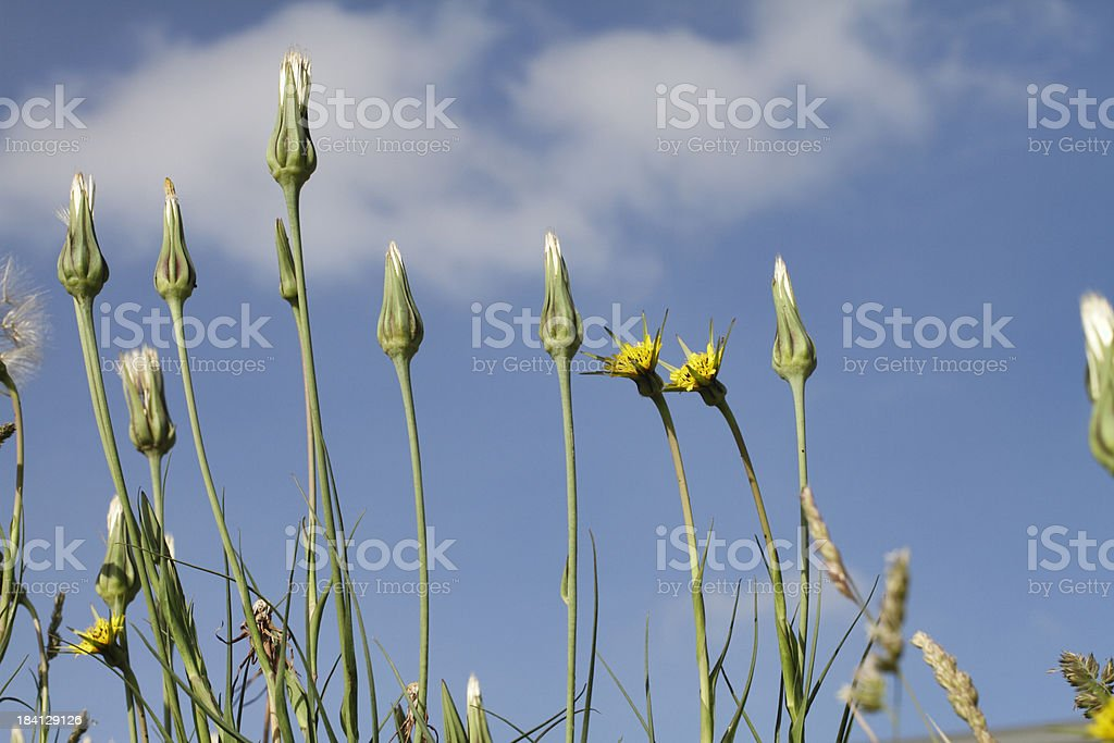Jack-go-to-bed-at-noon yellow flowers Tragopogon pratensis stock photo