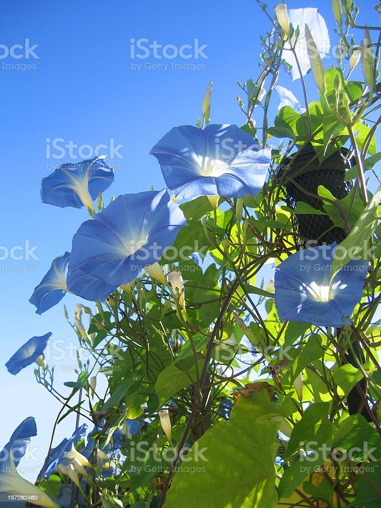 Better Morning Glory stock photo