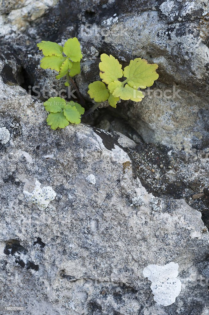 Between gray weathered limestone grows a little green plant royalty-free stock photo