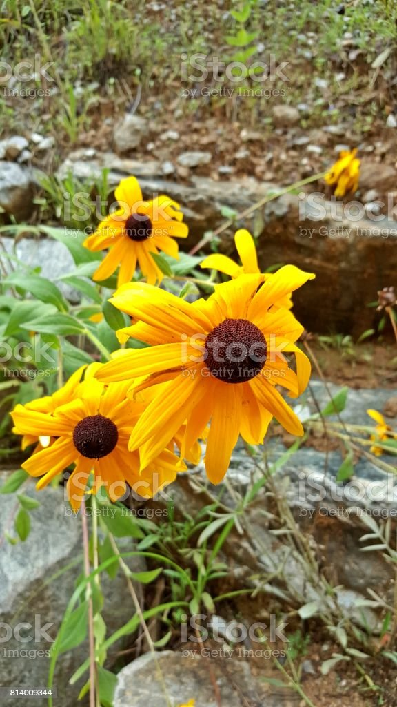 Between rocks Rudbeckia stock photo