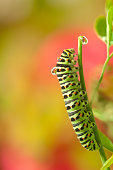 a green Caterpillar (of Papilio butterfly) standing / climbing on a branch /twig / tendril with a dew / drop on his back.