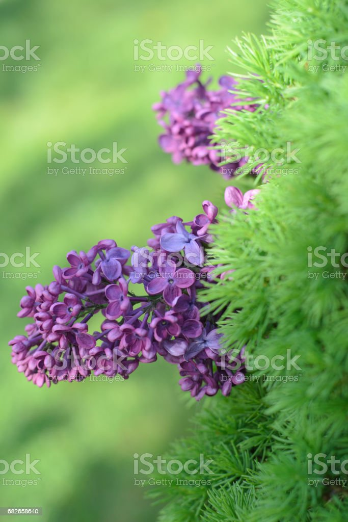 Between the green needles is a lilac branch stock photo