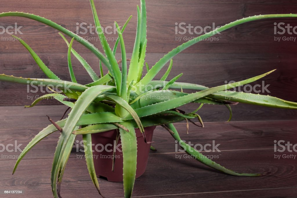 Beutiful Aloe Vera on wooden background royalty free stockfoto