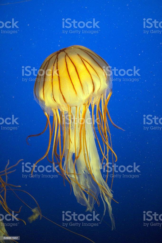Beutiful Striped Jellyfish stock photo