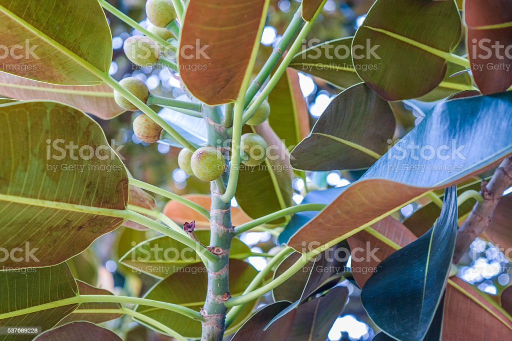 Beverly Gardens Park Ficus leaves stock photo