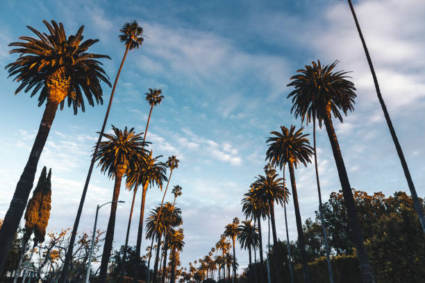 beverly hill palm trees beverly hill palm trees sunset boulevard los angeles stock pictures, royalty-free photos & images