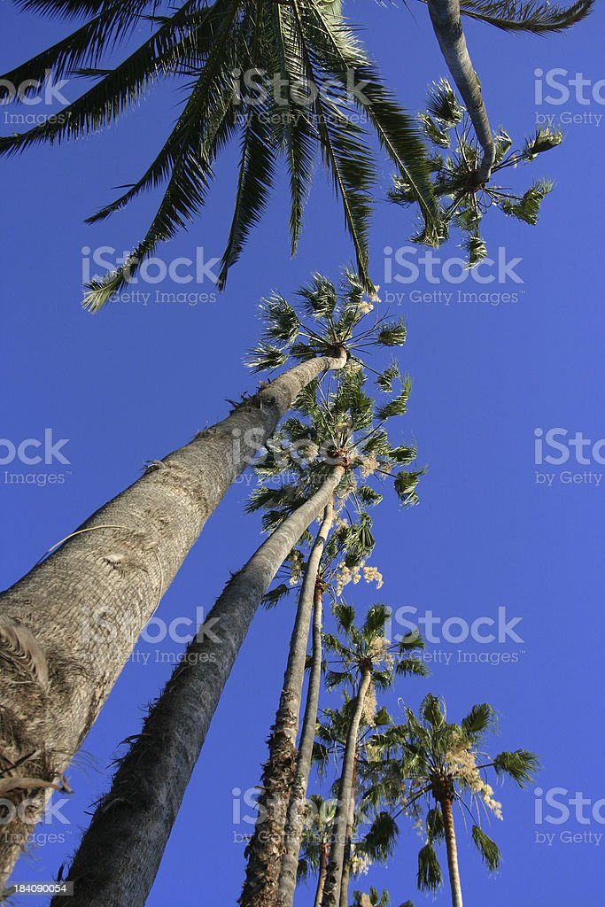 Beverly Hills, Califronia Palm Trees royalty-free stock photo