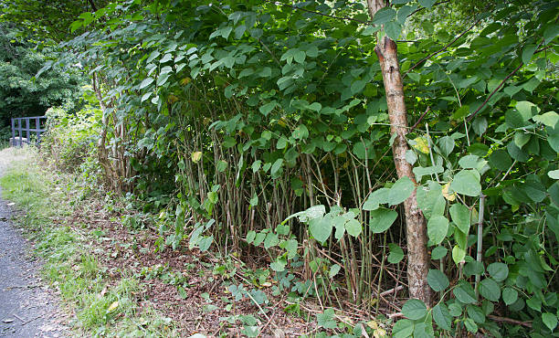 beware japenese knot weed - japanese knotweed stock pictures, royalty-free photos & images