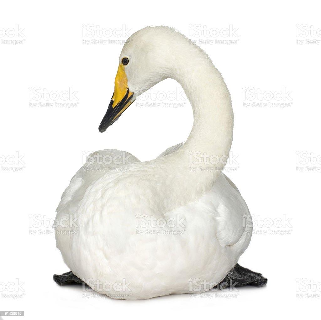 Bewick's Swan - Cygnus columbianus royalty-free stock photo