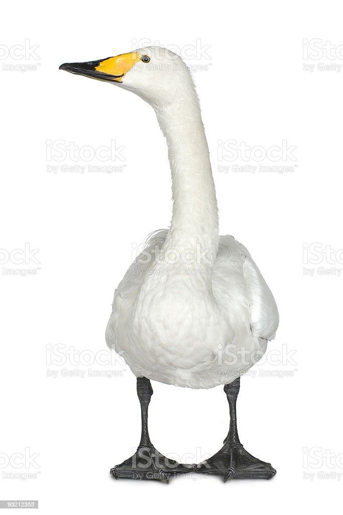 Bewick's Swan - Cygnus columbianus stock photo