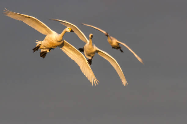 Bewick's Swan (Cygnus columbianus) in flight stock photo