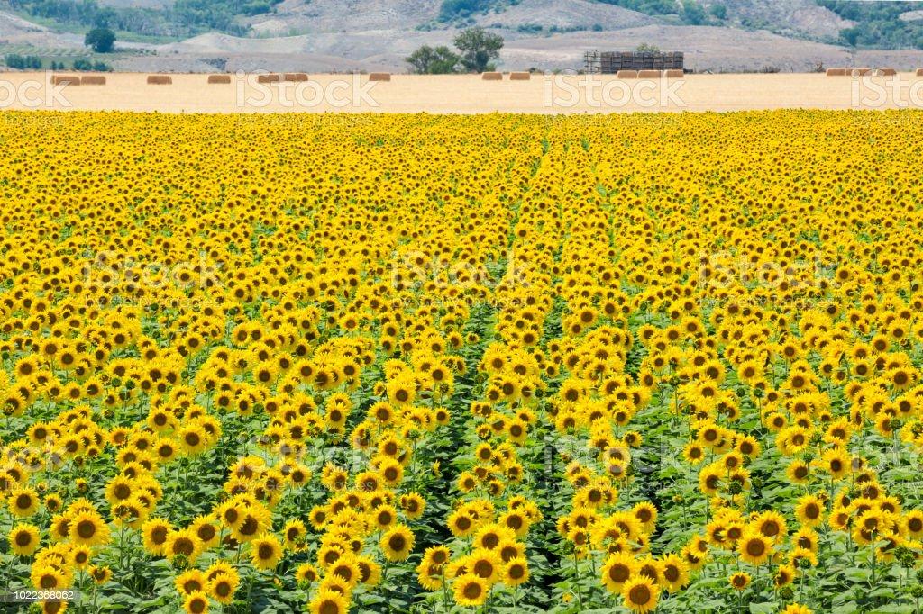 Beyond The Sunflower Field stock photo