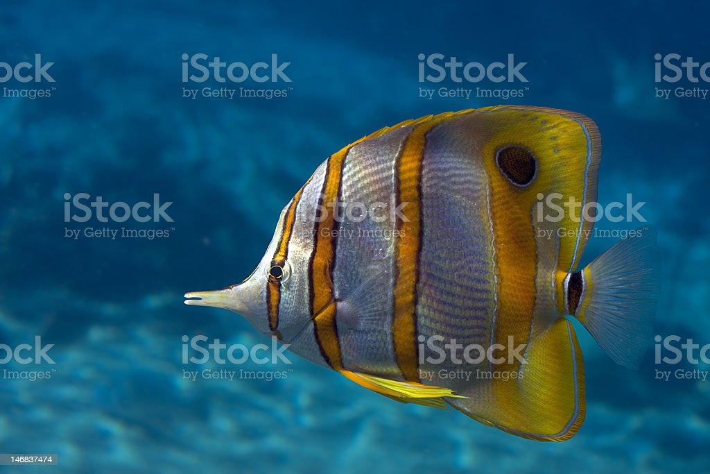 Bflyfish royalty-free stock photo