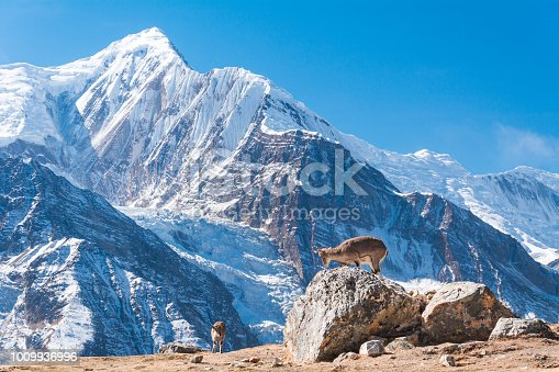 istock Bharals in front of Mount Gangapurna 1009936996