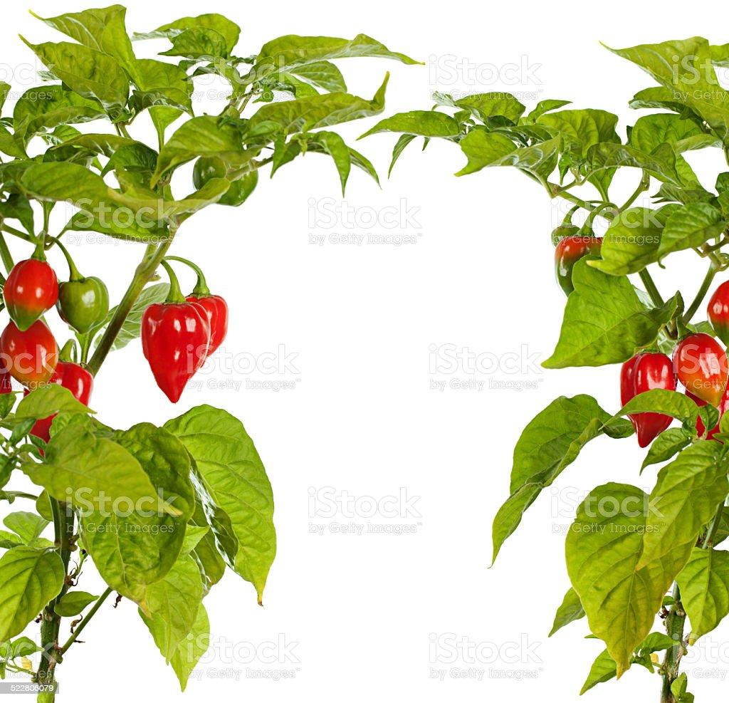 Bhut Jolokia chili pepper or the Naga Morich of Bangladesh stock photo
