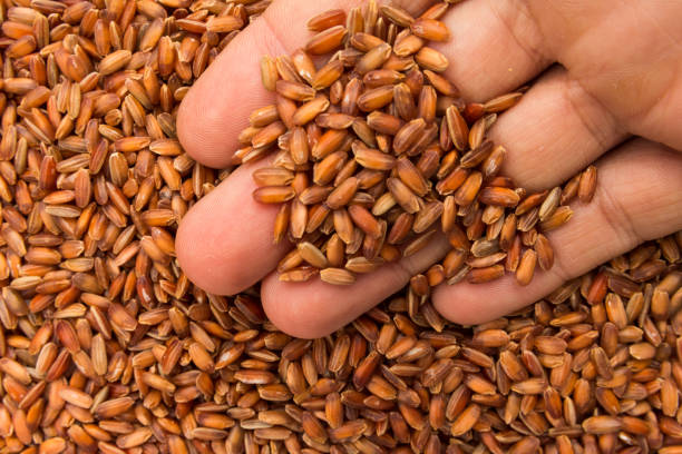 Bhutanese Red Rice seed. Person with grains in hand. Macro. Whole food. Oryza sativa is scientific name of Bhutanese Red Rice seed. Also known as Arroz Vemelho (portuguese). Person with grains in hand. Macro. Whole food. arroz stock pictures, royalty-free photos & images