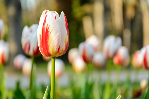istock bi color white and red tulips, background of tulips. 962678056