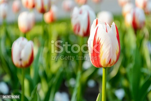 istock bi color white and red tulips, background of tulips. 962678094