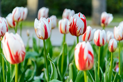 istock bi color white and red tulips, background of tulips. 962678110