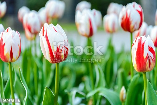istock bi color white and red tulips, background of tulips. 962678118