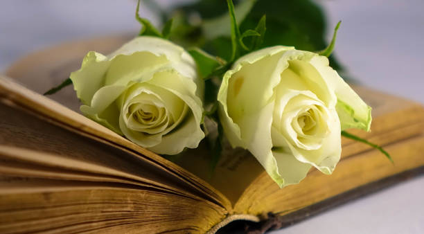 Bible with white Roses stock photo