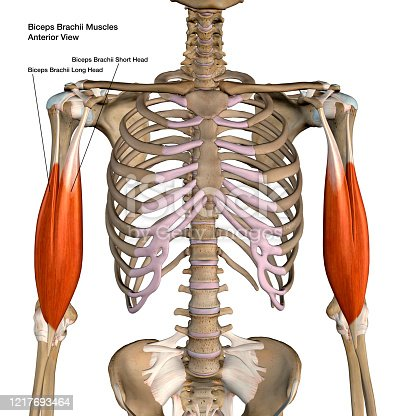 istock Biceps Brachii Muscles Isolated Anterior View Anatomy Labeled on White Background 1217693464