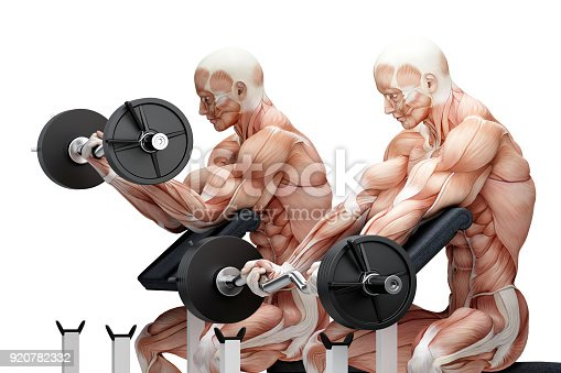 istock Biceps exercise with EZ curl bar. Anatomical illustration. Isolated. Contains clipping path 920782332