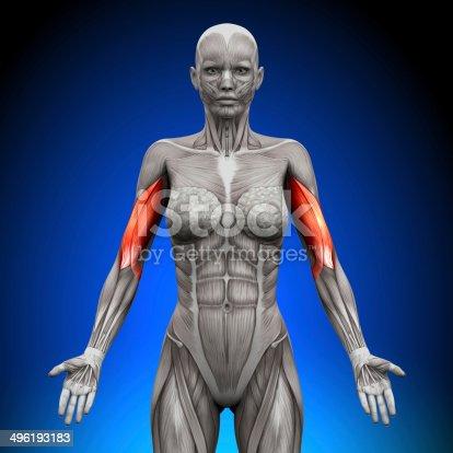 496193203istockphoto Biceps - Female Anatomy Muscles 496193183
