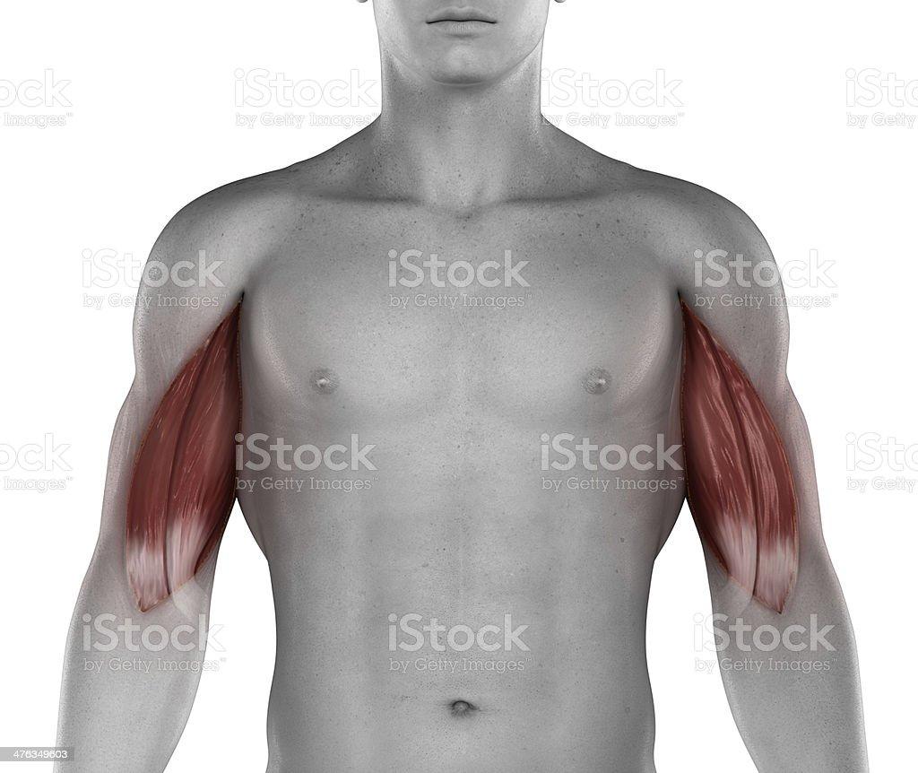 Fotografía de Biceps Los Músculos Hombre Anatomía Vista Anterior ...