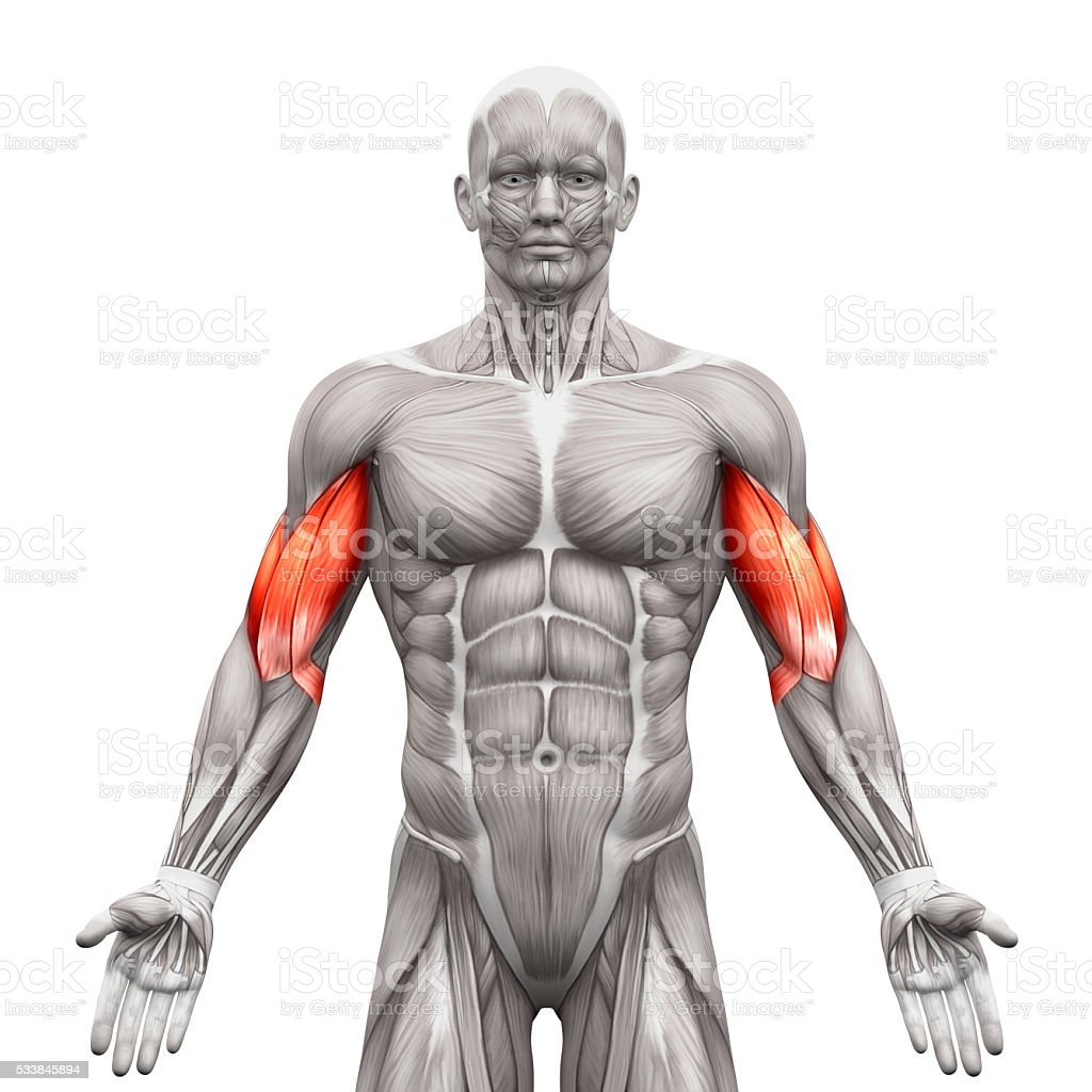 Fotografía de Bíceps Los Músculos De Anatomía Músculos Aislado Sobre ...