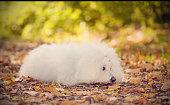 Sad Bichon bolognese dog in the park