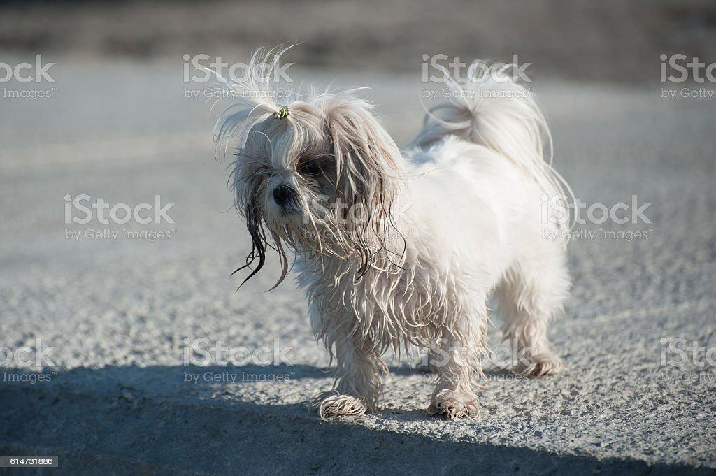 Bichon dog on pier stock photo