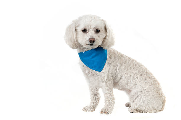 Bichon dog stock photo