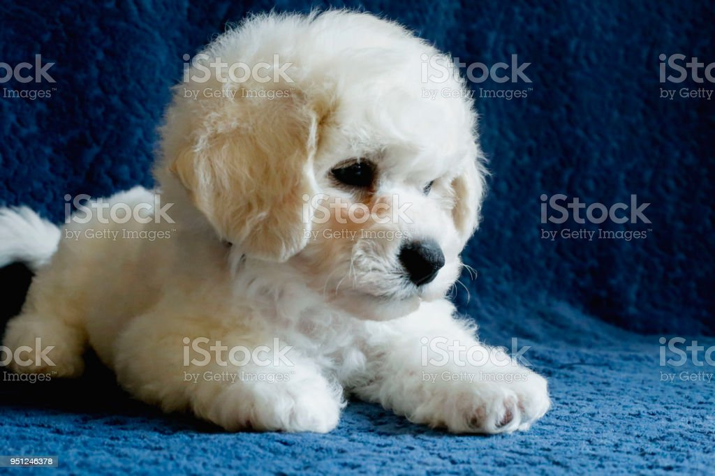 Bichon Frise Puppy Portrait Stock Photo & More Pictures of