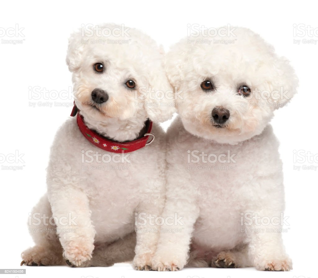 Bichon Fris©, 9 and 7 years old, in front of white background – zdjęcie