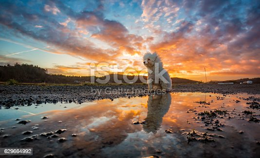 istock Bichon Frisé reflected in water during sunset 629664992