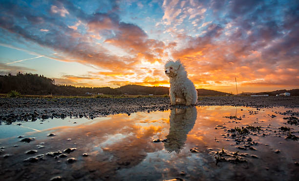 bichon frisé reflected in water during sunset - lange zottige frisuren stock-fotos und bilder