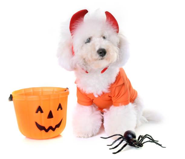bichon frise and halloween stock photo
