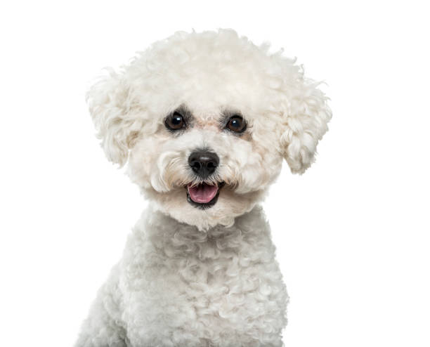 Bichon Frise dog in portrait against white background stock photo