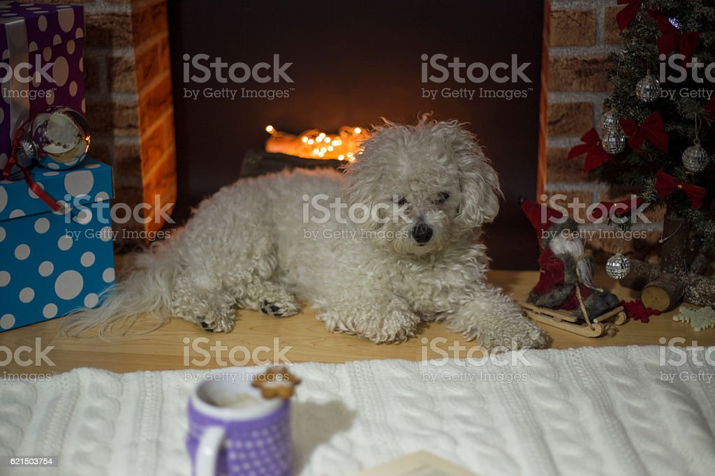 Bichon frise dog lying near a fireplace decorated for Christmas photo libre de droits
