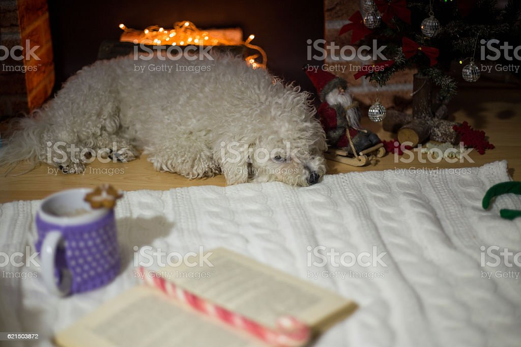 Bichon frise dog lying near a fireplace decorated for Christmas Lizenzfreies stock-foto
