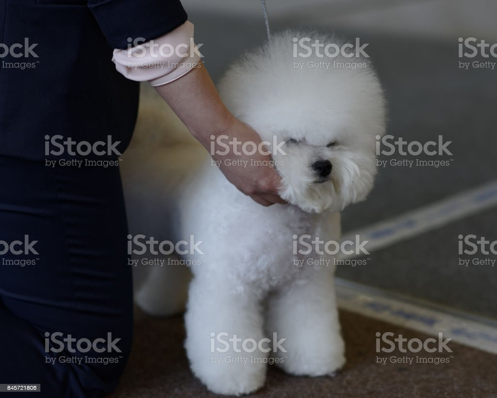 Bichon Frise dog on the dog show – zdjęcie