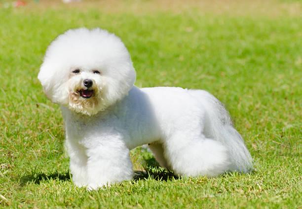 Bichon Frisé Hund – Foto
