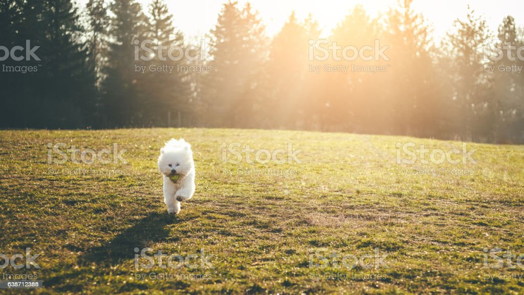 Bichon frise dog playing fetch – zdjęcie