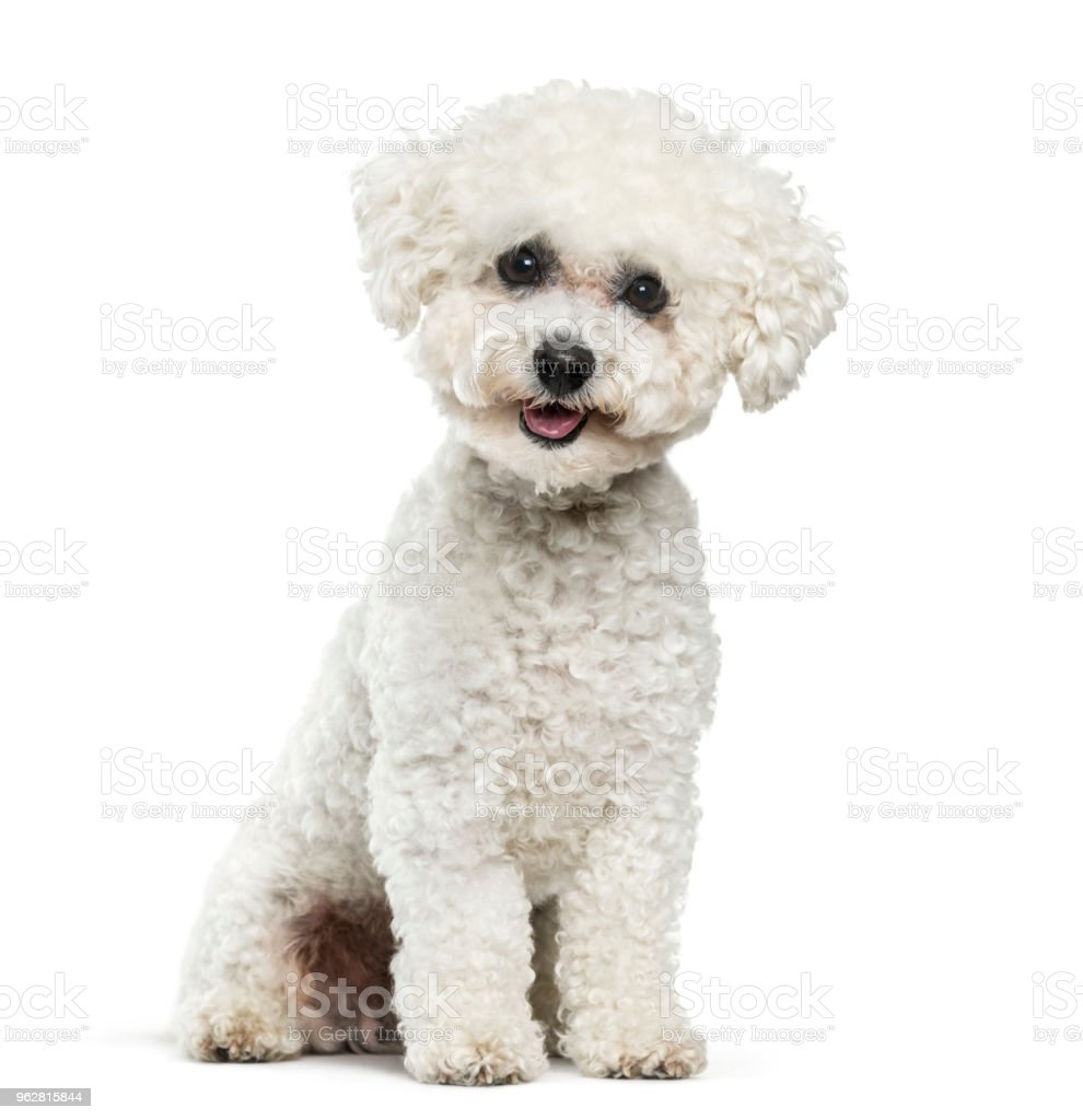 Bichon Frise dog sitting against white background – zdjęcie