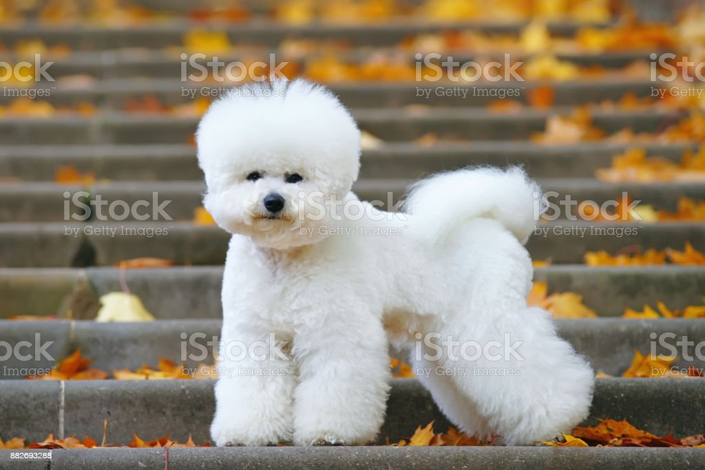 Bichon Frise dog with a stylish haircut staying on the stairs in autumn park – zdjęcie